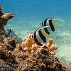 Juvenile Pennant Butterflyfish