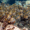 Whitebar Surgeonfish herd grazing at da rock