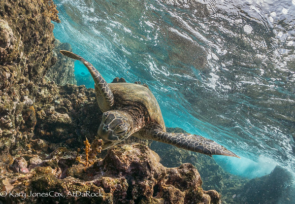 Green Sea Turtles, Honu